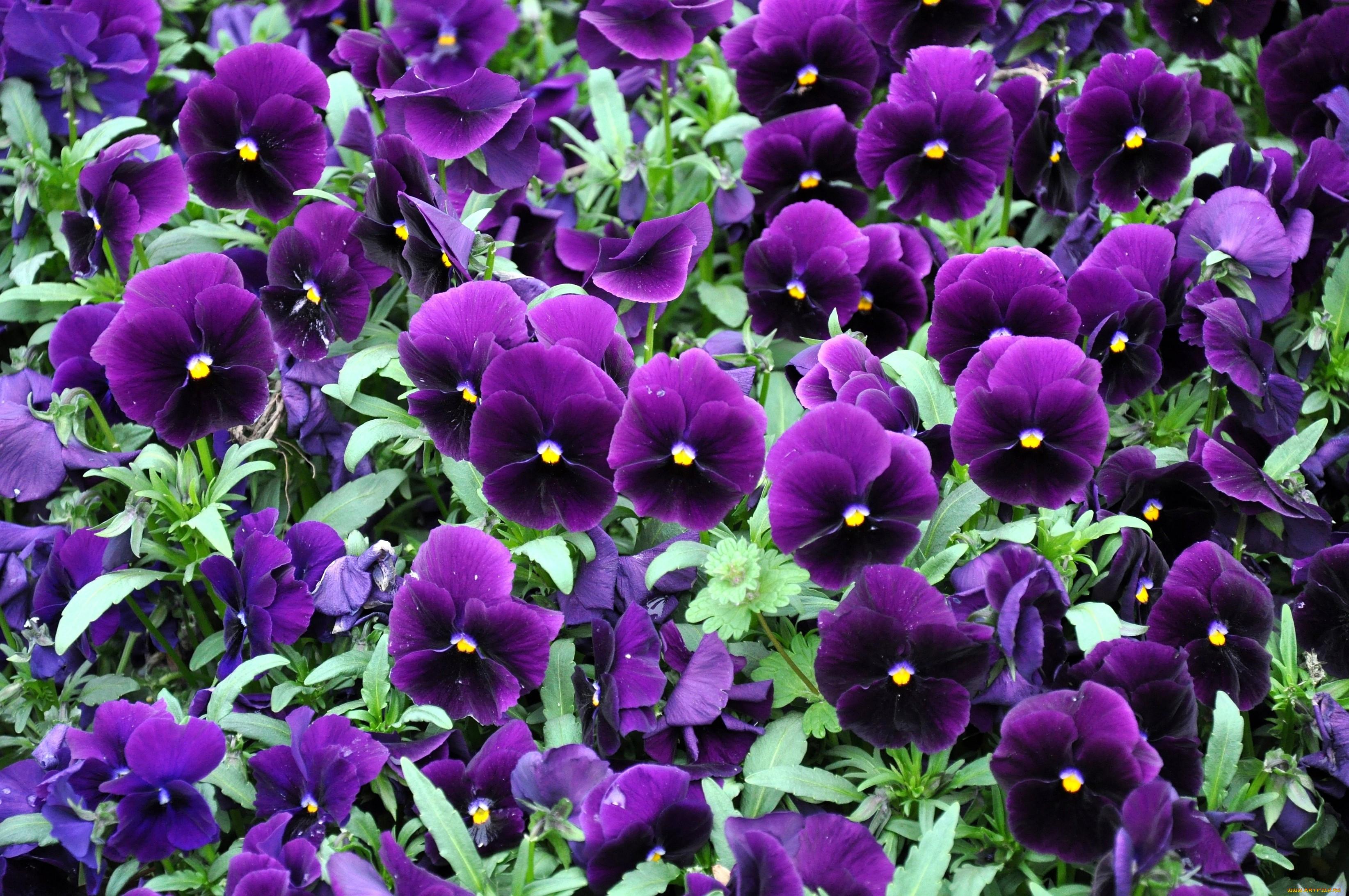 следует садовые цветы с фиолетовыми цветками картинки другой стороны